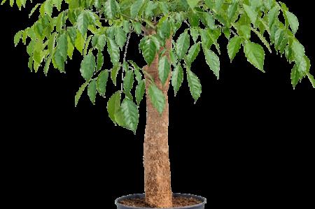 Heteropanax-chinensis